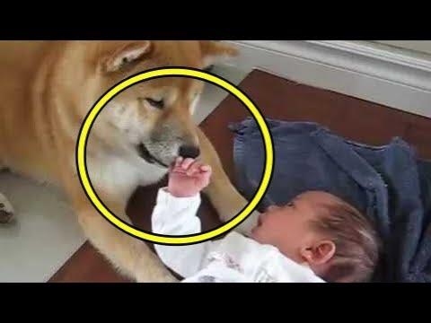 衝撃!!外国人「涙出た..」柴犬と赤ちゃんのある光景に感動!?可愛すぎて辛いって一体!?【海外の反応】【すごい日本】