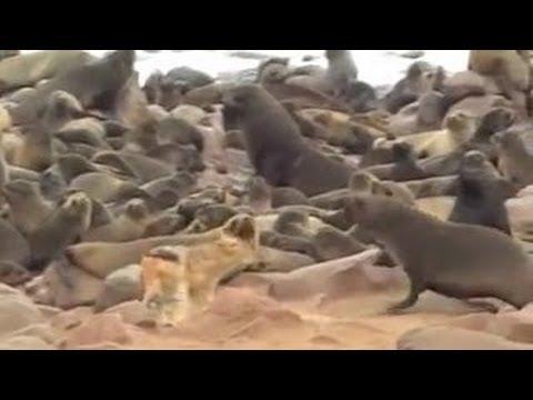 【動物の戦い】ライオンがガチでボコボコにっ!衝撃映像!