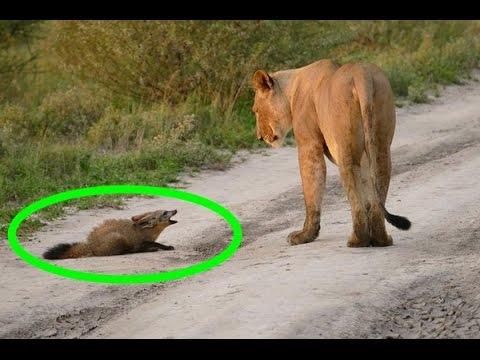 お腹を空かせたライオンが怪我した子ぎつねに遭遇。衝撃的な結末に感動。