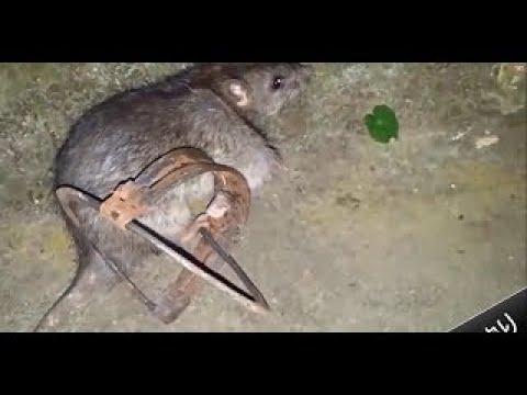 【 優秀】画期的なアイデアのネズミ捕りトラップ【トップ10】
