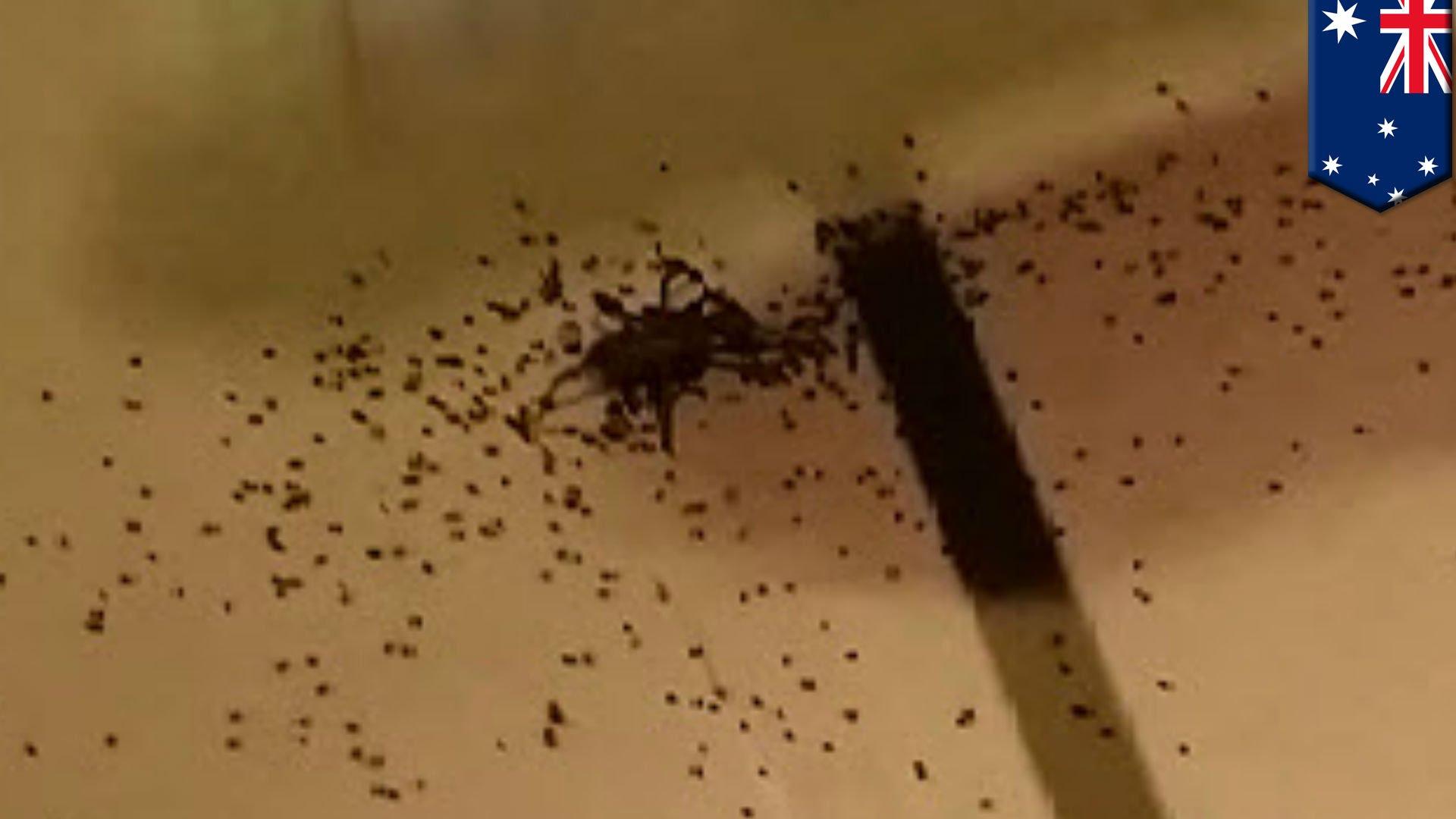 【閲覧注意】蜘蛛を退治しようと叩き潰したら大量の赤ちゃんが……
