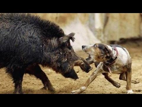 犬とイノシシの間にひどい衝突