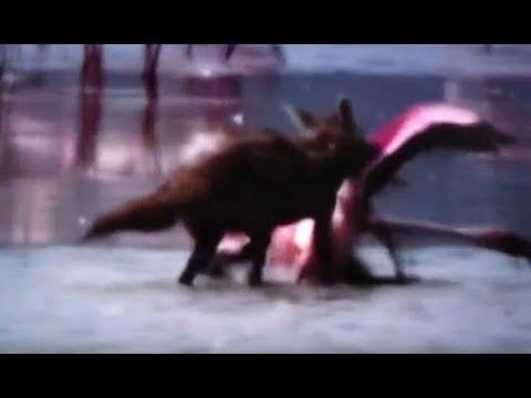 ジャッカルがフラミンゴの群れに突っ込み一匹を捕らえて奪い合う争奪戦