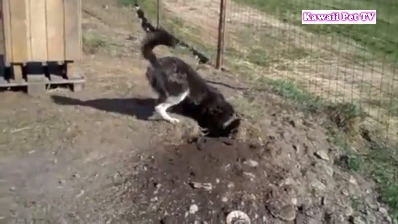 「忍者犬」録画されなかったら、誰でも信じられない人間化したハスキー犬の脱出場面