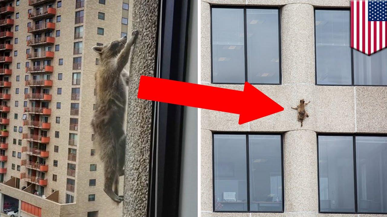 【スパイダーマン並み】高層ビルを20階の高さまで登ったアライグマを全米が見守る – トモニュース