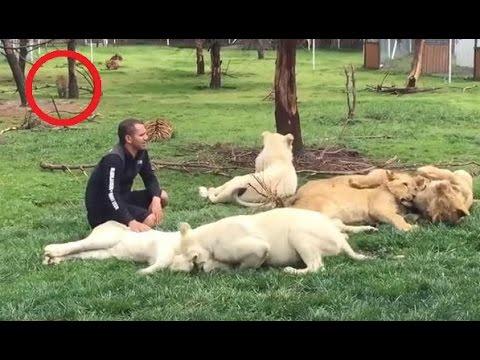 【感動する話】危機一髪! ライオンと戯れる男性の背後からヒョウが襲いかかる! それを救ったのは…?