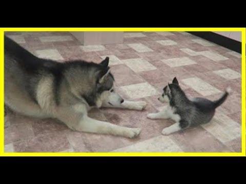 狗狗搞笑;「真的是我生的嗎?」哈士奇第一次當爸爸,興奮high翻天的樣子讓主人不禁苦笑:都跟你一樣是二哈XD