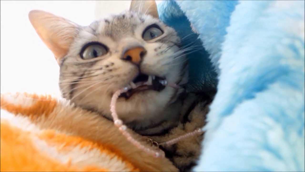 お気に入りの首輪は大事に手入れする猫-Cat care about her collar in particular