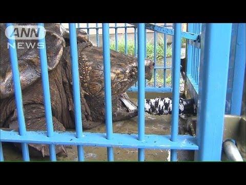 釣り人ビックリ!ワニガメ産卵 警察出動 捕物騒ぎ(14/06/12)