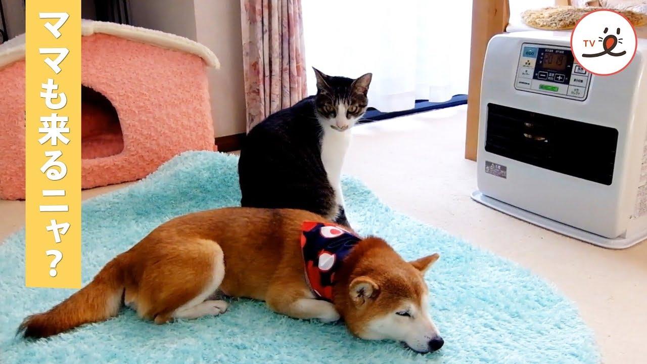 ママを温めてあげる優しい猫さんにほっこり【PECO TV】
