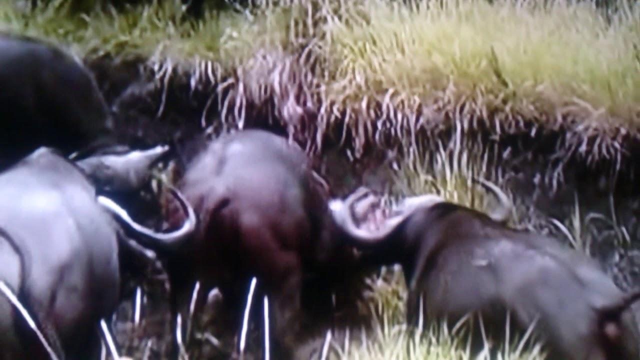 【衝撃映像】アフリカスイギュウを怒らせたライオンがボコボコにされて撲殺される衝撃映像