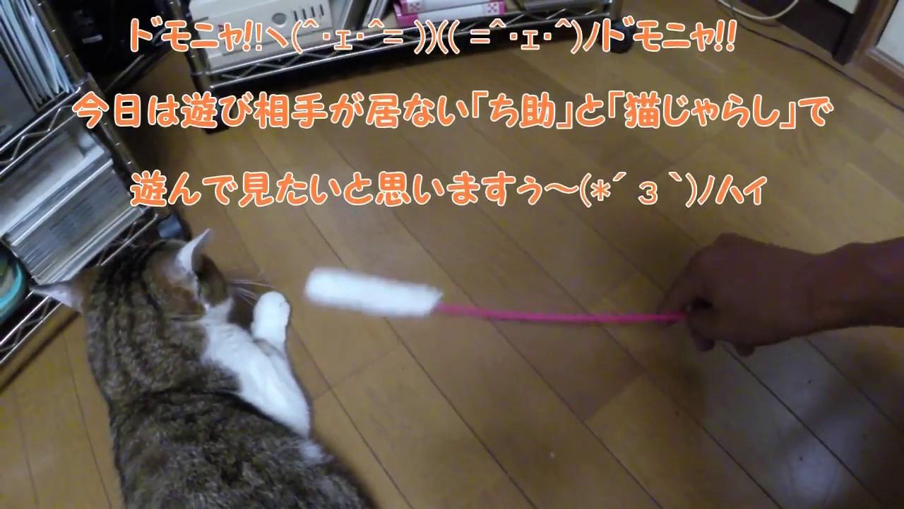 おっちゃんネコ!「ち助」#8 猫らしくない(=^ェ^=) ! まさか、そんなに怒るとは(T_T)