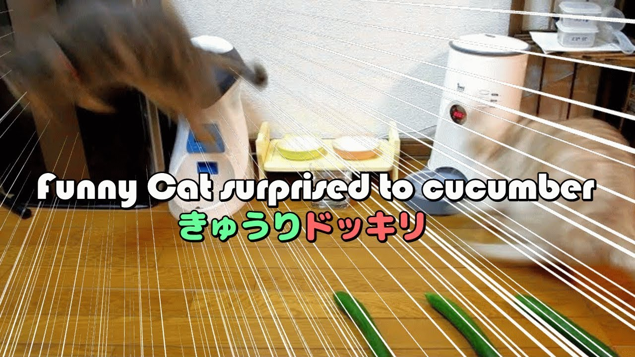猫がきゅうりにびっくり大ジャンプ!? – Funny Cat surprised to cucumber –