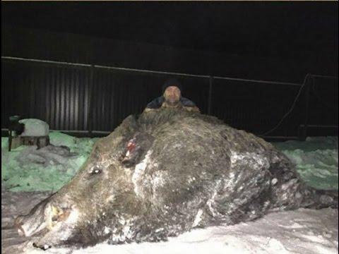 【驚愕】 巨大いのしし(500キロ) VS 巨大クマ(400キロ) 捕獲!でかいw 、、REPORT TRUE