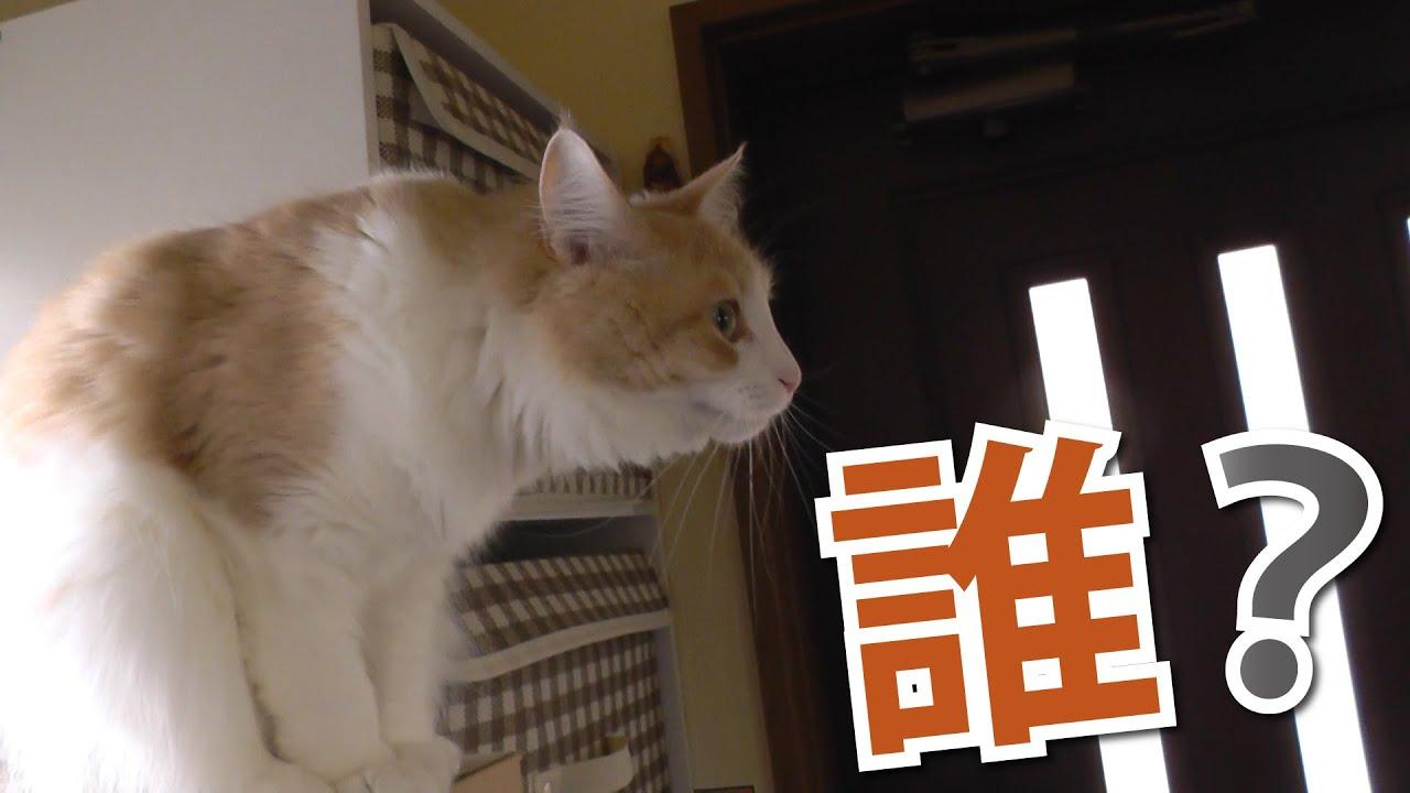 《甘えんぼ猫 ラズリ》鏡に映る自分に気づいた瞬間の顔www -ノルウェージャンフォレストキャット-