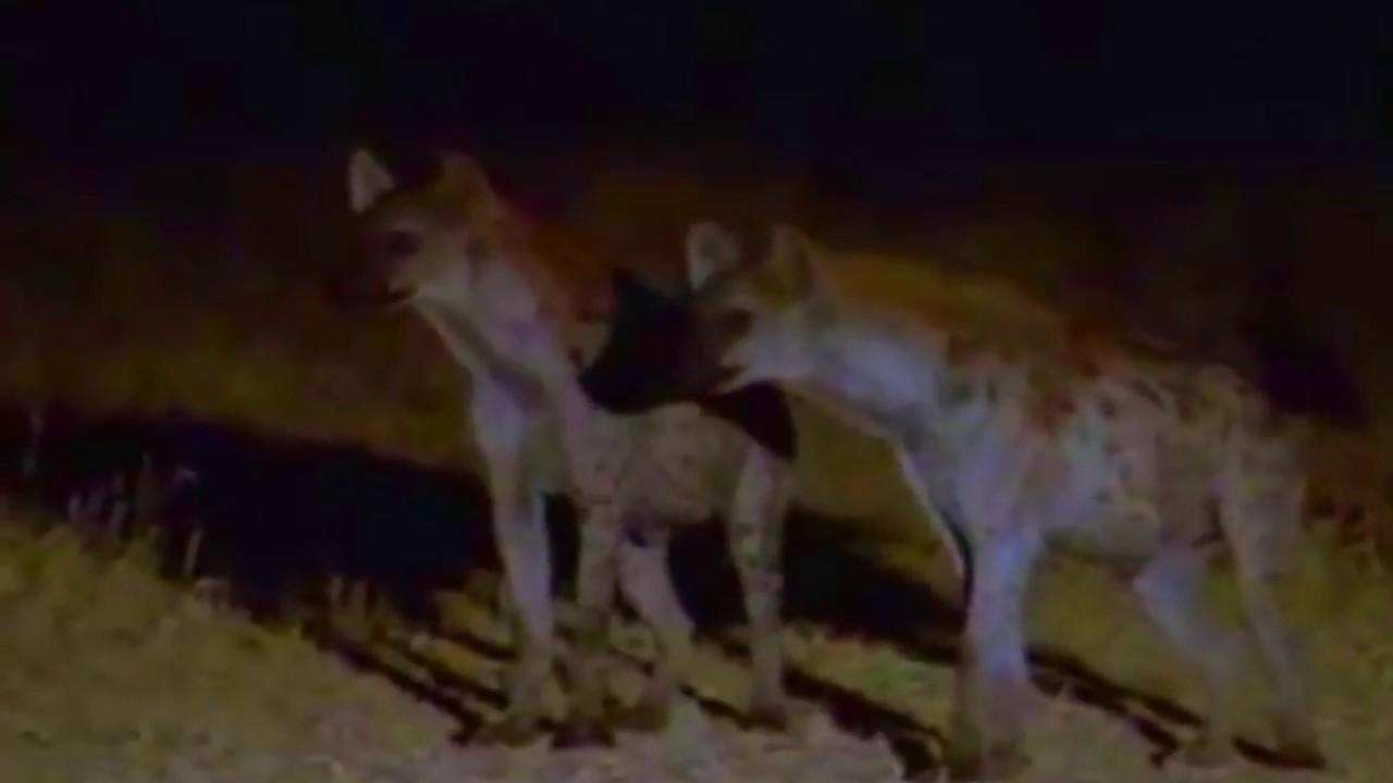 【動物の戦い】死闘で血まみれハイエナの衝撃映像!