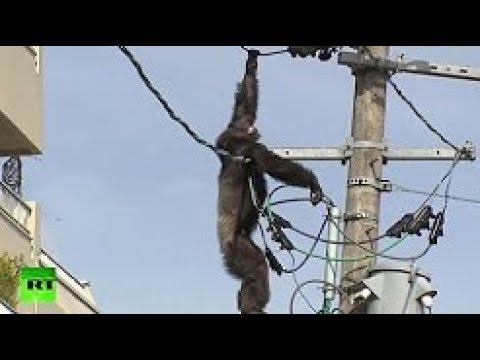 【熊・サル・チンパンジー】電気ショック! 野生動物が街に降りてきて、電線に上った結果・・