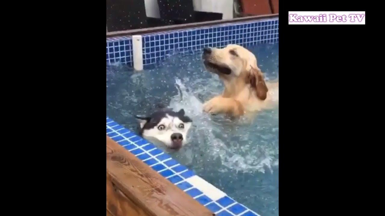 「おもしろ犬」最高に面白い犬, ハスキーのハプニング, 失敗・かわいい犬
