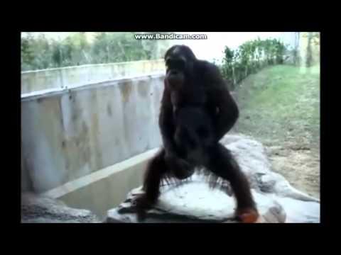 【衝撃映像】オランウータンのエッチな行動がおもしろい!
