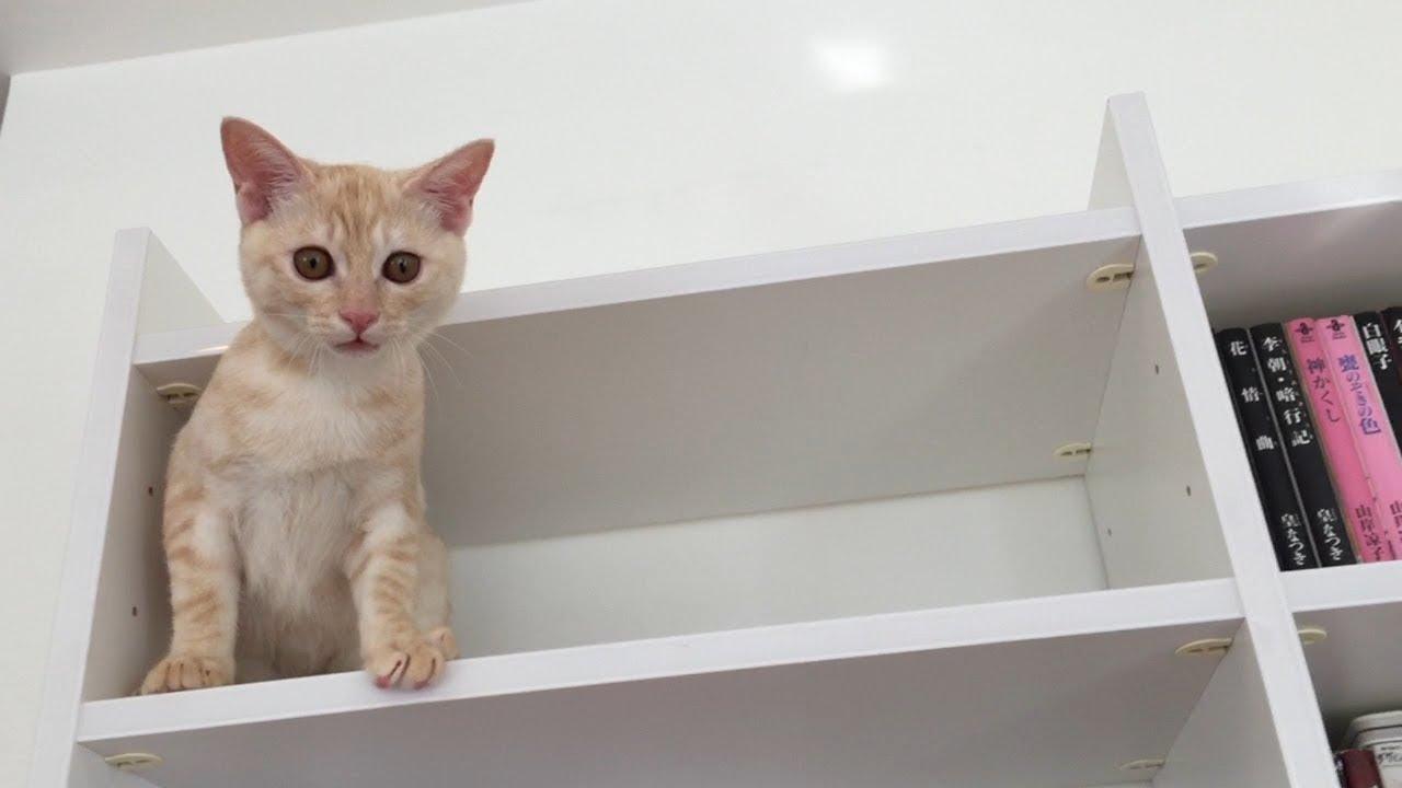 本棚から降りられなくなって泣き喚く、情けない子猫【マヌケ】
