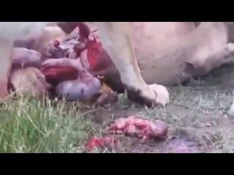 【野生動物】ライオンが妊娠中の豚を狩りお腹の中の豚までも食べる衝撃映像/Animal Attack/hunting/閲覧注意・48