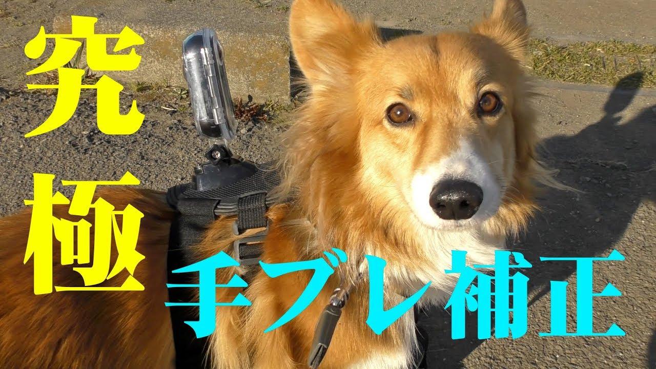 究極 手ブレ補正カメラをロクさんに着けてみた / insta360 on Roku 20190127 コーギー GoPro ハーネスマウント dog chase RC car