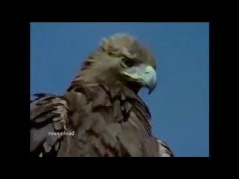 鷲がヤギを崖から転落死させる最強技「ワシアタック」の凄さ 4歳