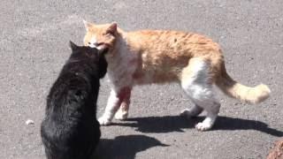 猫 喧嘩 流血 出血 痛々しい・・