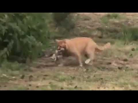 猫に捕まってしまったアヒルの末路が悲惨すぎるwwwwこれはやべえええええ