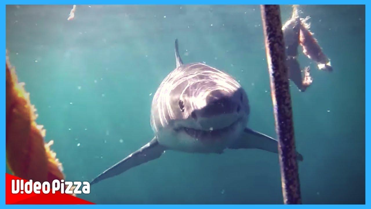 サメに攻撃される決定的瞬間映像【サメ動画まとめ】