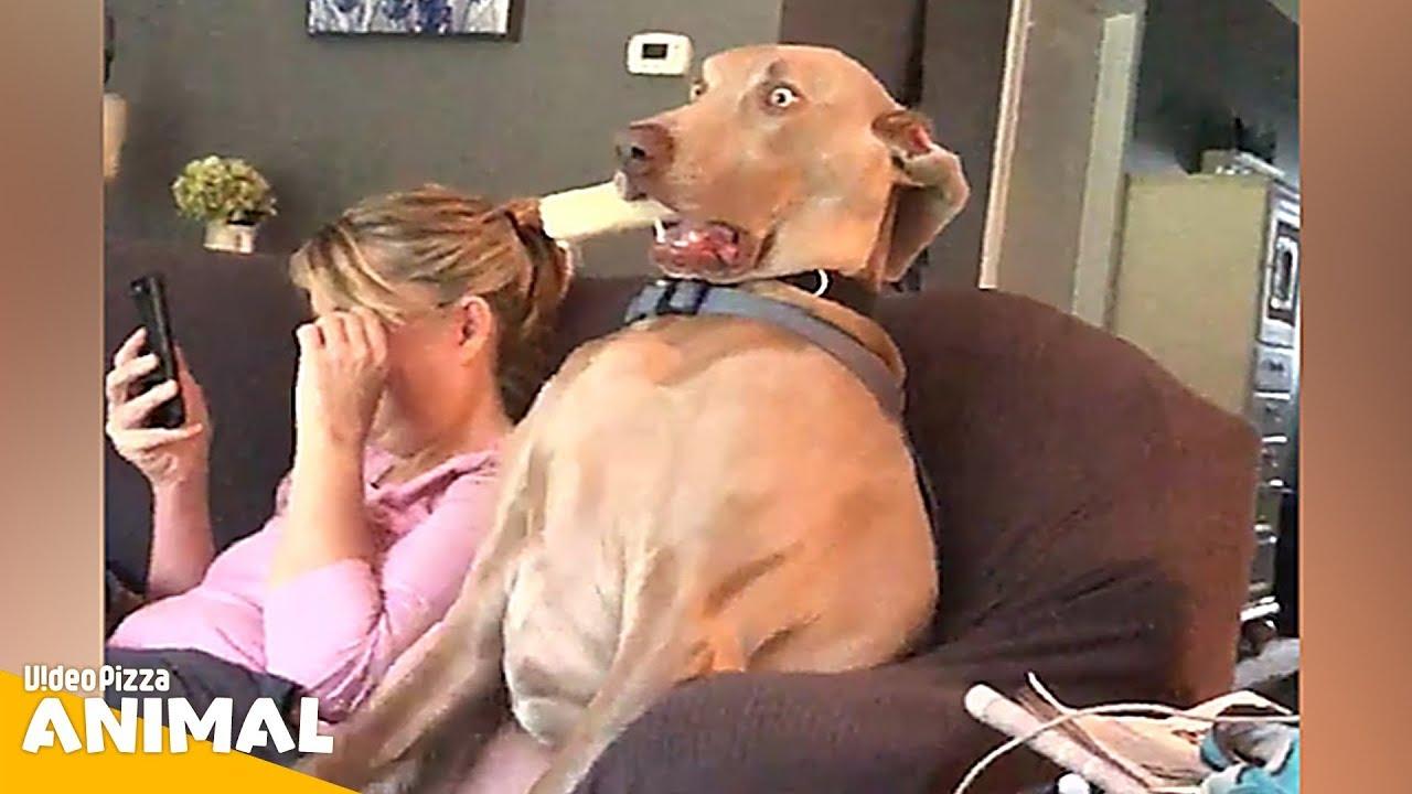 腹がよじれる おもしろ犬動画まとめ!【Video Pizza】