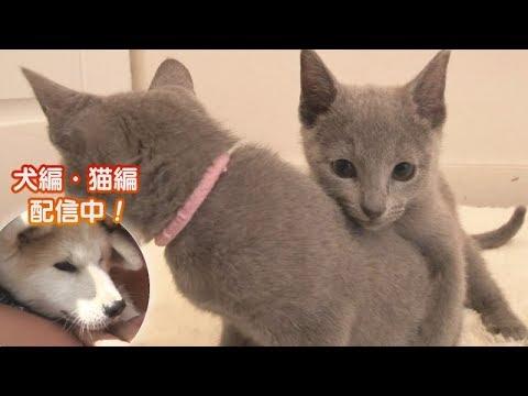 「どうぶつピース!!かわいい大図鑑」猫編(30)しつこいハグに天罰!でも 他
