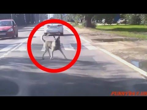 【vine日本】 – 動物が車によってヒット – ライブ事故映像素材 – 悪い事故