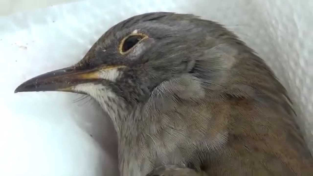 【閲覧注意】 柿食う鳥シロハラが窓ガラスに当たって昇天 沖縄の野鳥