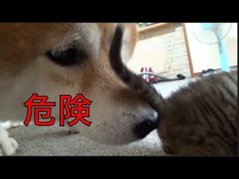 [子猫] [保護猫] 柴犬に子猫がいじめられました [柴犬][可愛い][癒し]