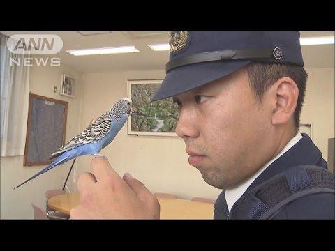 「かわいい」迷いインコ 警察官に保護され仲良しに(16/11/29)