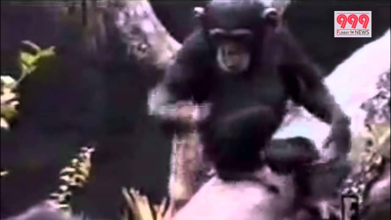 おしりの臭いが臭すぎて気絶するチンパンジー!