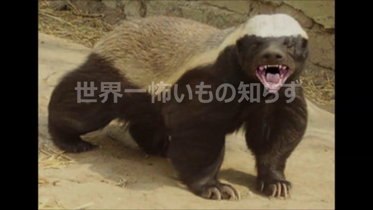 【小さな猛獣】世界一,ギネスブック認定,ライオンもめったに襲わない,最強の動物【野生動物】