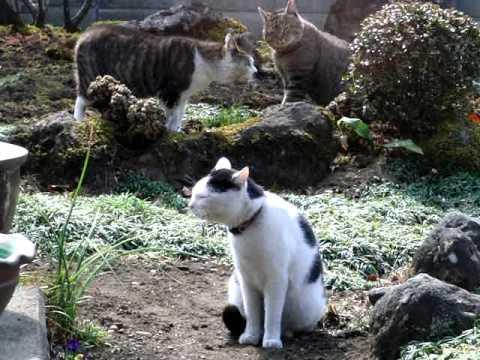 【野良猫同士の喧嘩に遭遇しこれ以上恐怖で逃げれない飼い猫】 Cat fight