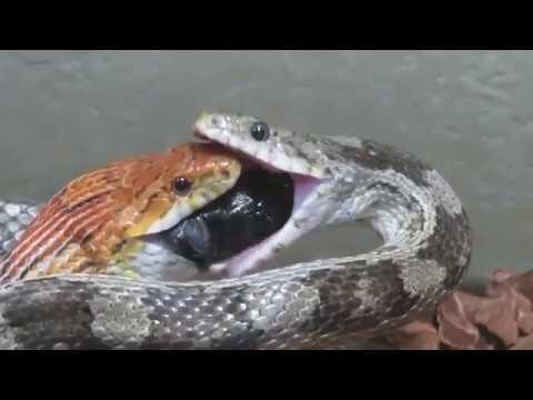 【閲覧注意】仲間のエサを横取りし、その後共食いするヘビ