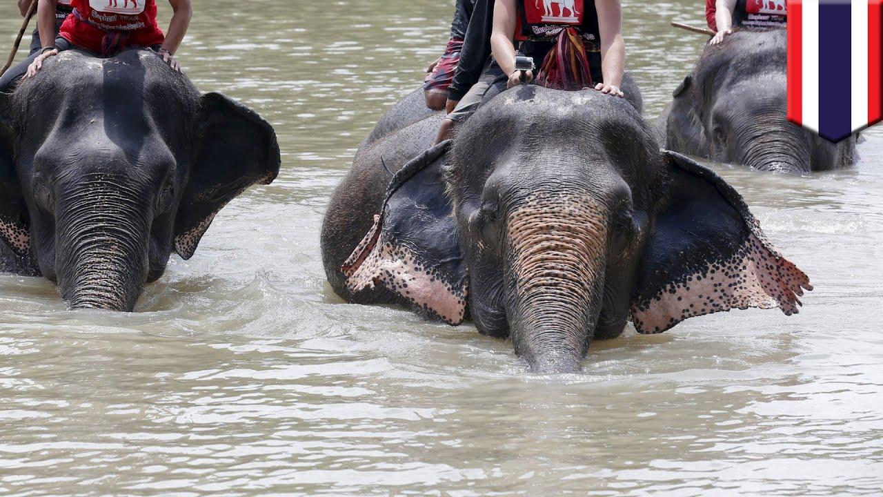 ゾウがゾウ使いを牙で刺し殺し、中国人観光客乗せて森へ タイ