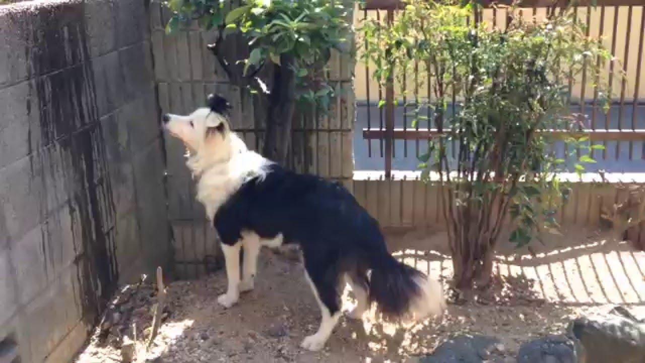 ボーダーコリー凄い才能(笑)『犬バカ日記』 ななちゃんの水遊び