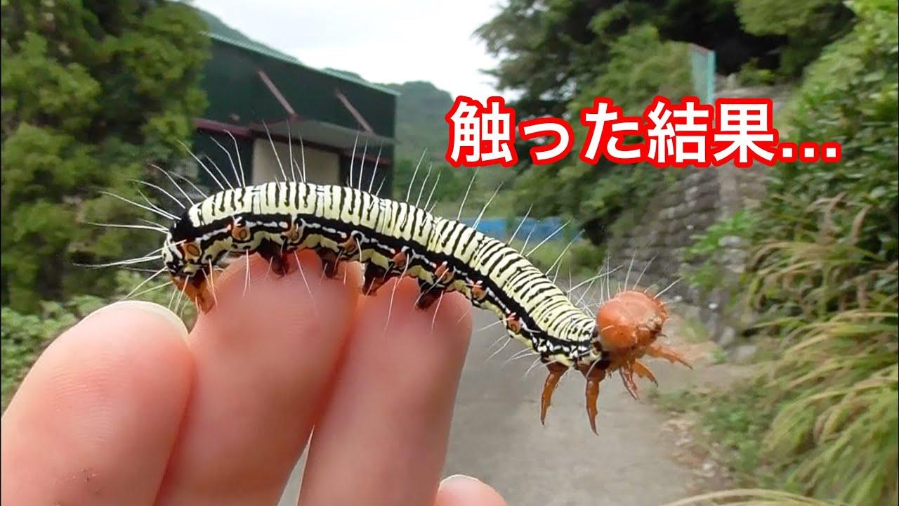 マジでヤバイ巨毛虫を素手で触るとこうなります…【閲覧注意】