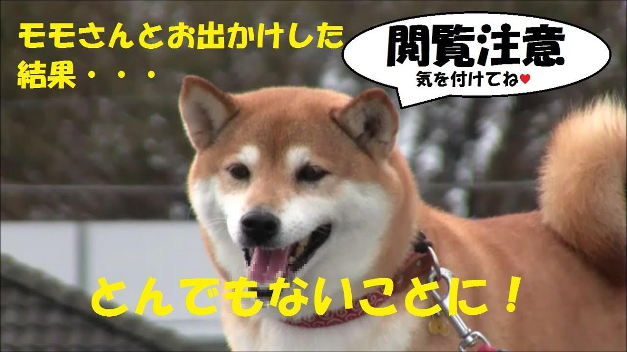 柴犬モモさん初の閲覧注意動画(笑)