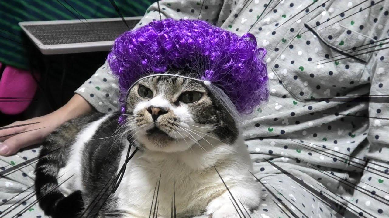 おばちゃんパーマが超絶似合う猫リキちゃん☆頭が鳥の巣状態なのでひよこちゃん乗せてみた【リキちゃんねる・猫動画】Cat video キジトラ白猫の居る暮らし
