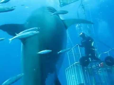 撮影された中で史上最大巨大サメ
