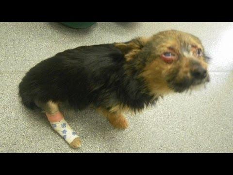 骨を折られ火をつけられドラッグを食べさせられた犬 奇跡の回復を見せる