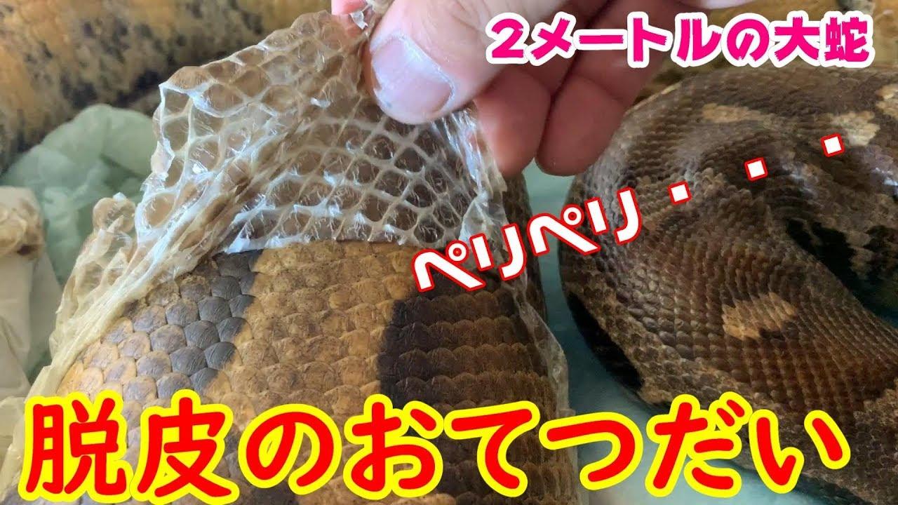【音と感触最高!】自分で脱がないヘビの脱皮をおてつだい【ASMR】