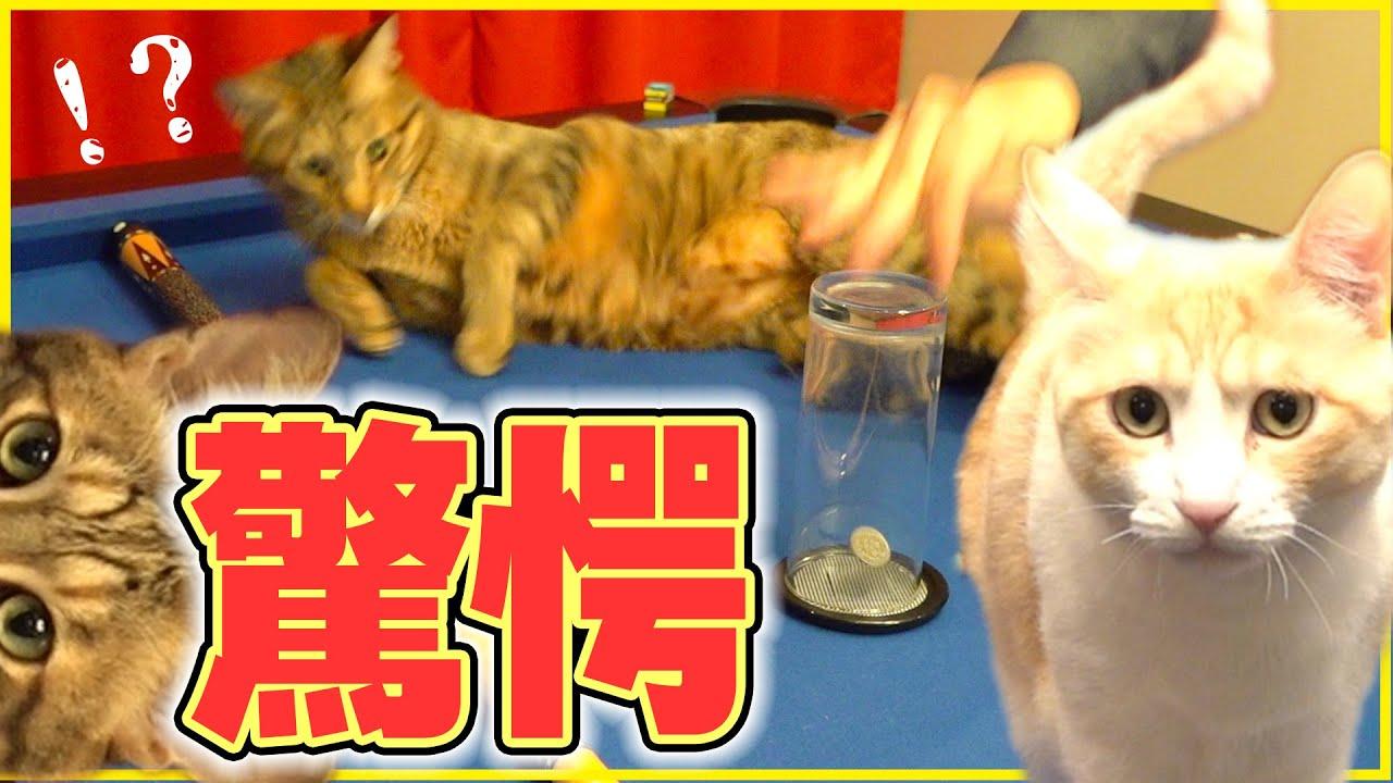 猫の前でマジックを披露したらリアクションがすごかったwwww