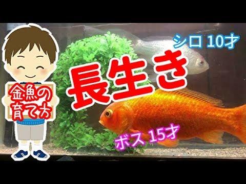 【ポイント】たったこれだけで金魚が長生き! ボス15才(設定上15才実際は18才) 元気で長生き金魚の育て方。